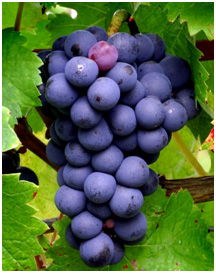uva-cabernet-franc
