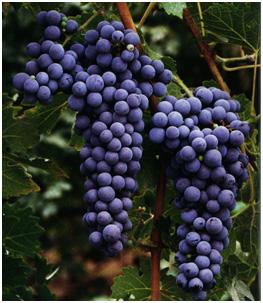 uva-cabernet-sauvignon